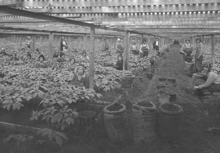 Fromm History - Working the Ginseng Beds